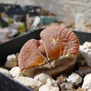 a severely sunburned lithops