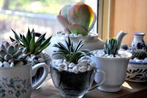 Should I Grow Succulents Indoors Or Outdoors Sublime Succulents