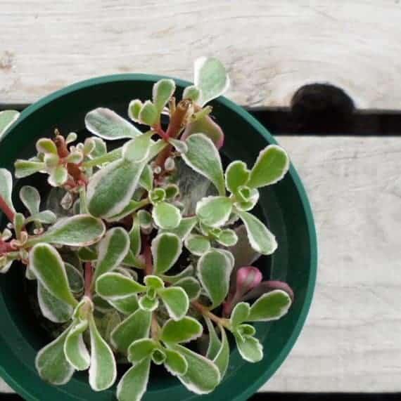 winter succulent