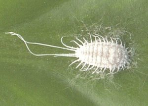 treat mealybug