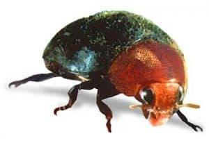 treat mealybugs