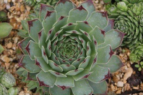 Australian Succulents