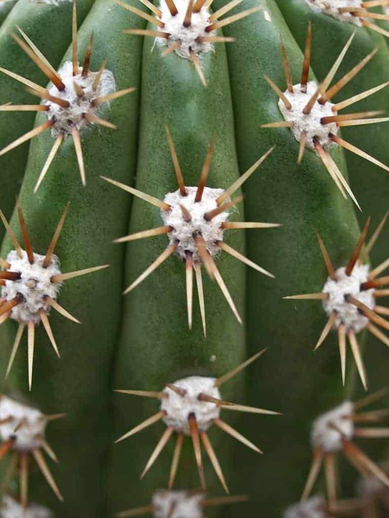 difference between cacti and succulents