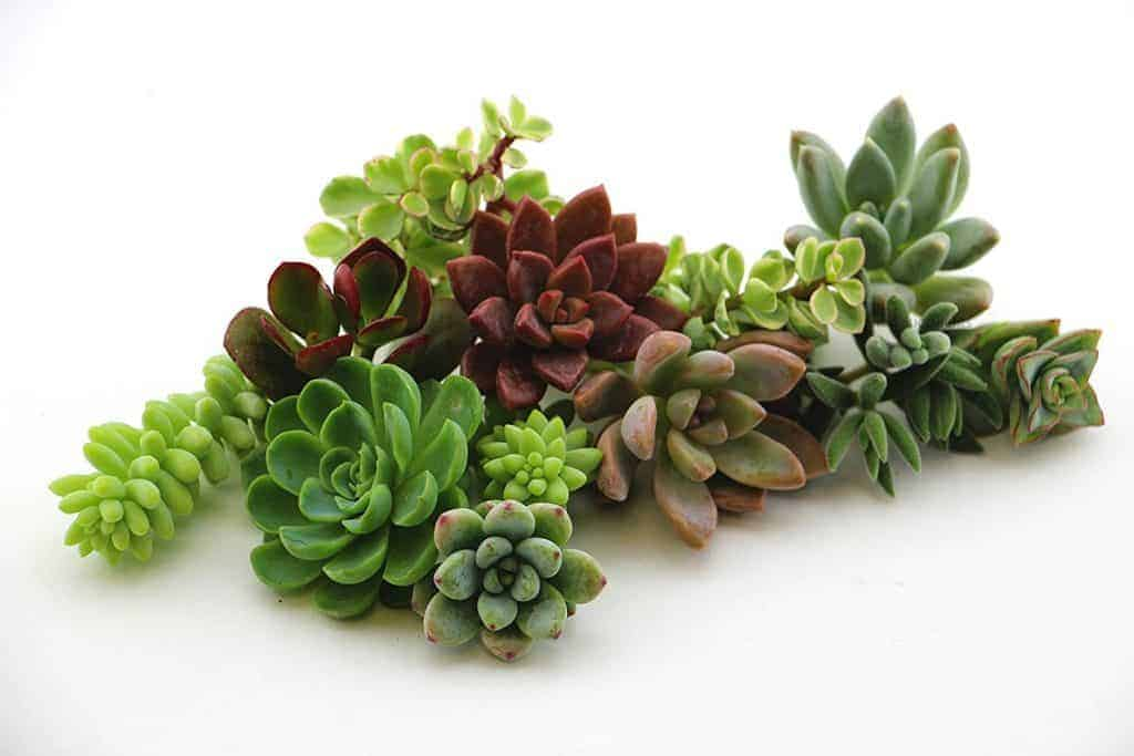 what to do with succulent cuttings and leaves