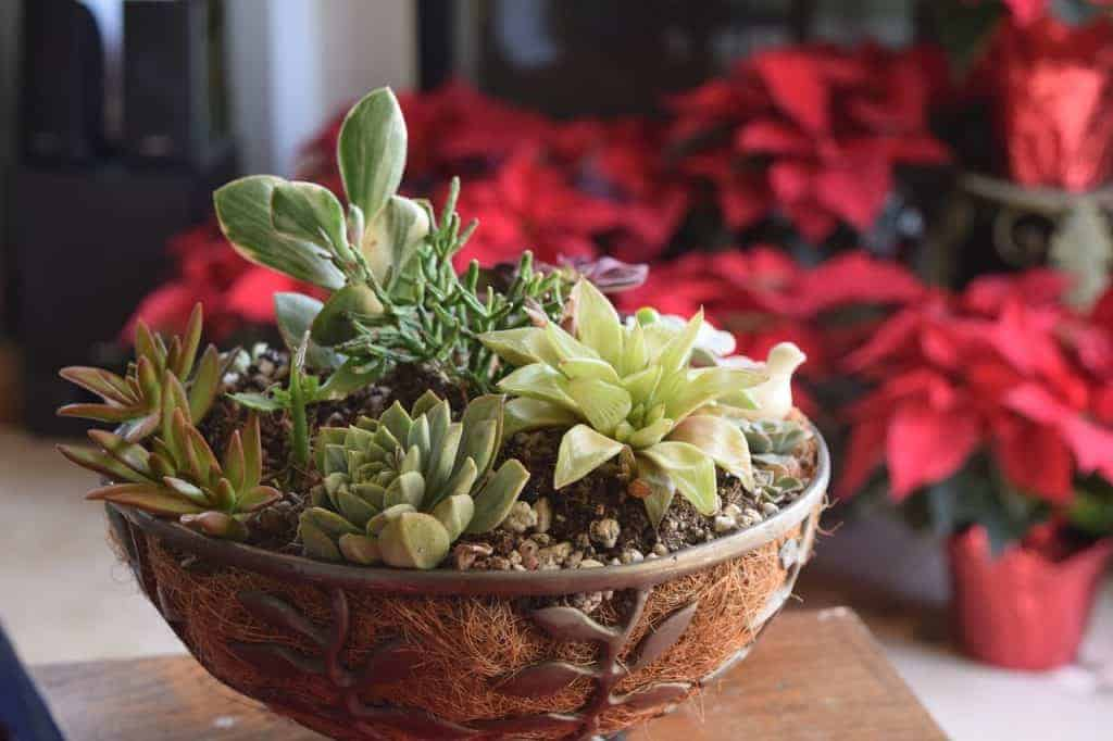 10 Best Succulents And Cacti For Succulent Arrangements Sublime Succulents