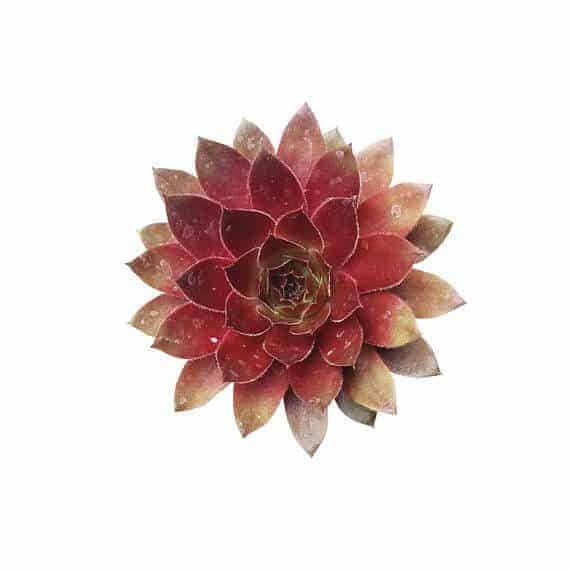 non toxic pet safe succulents