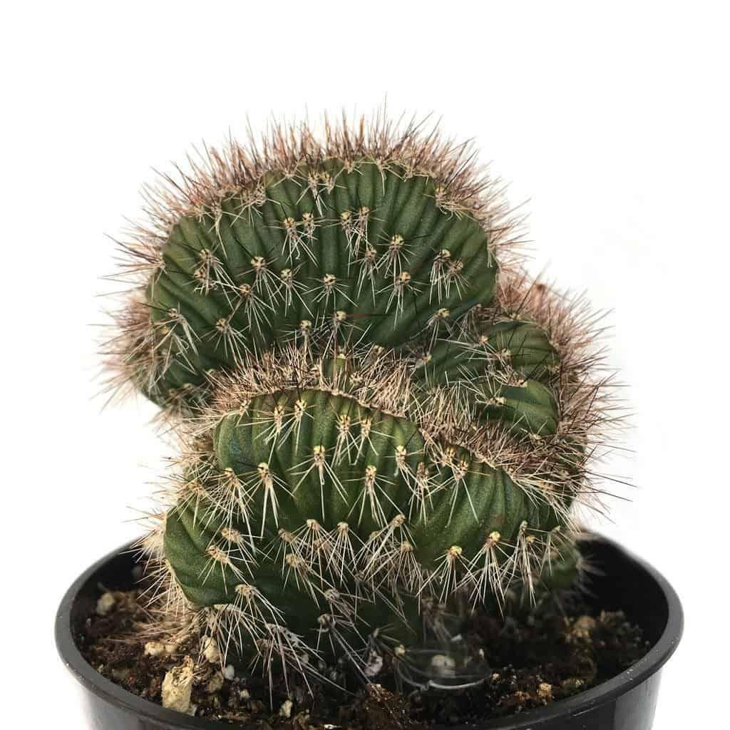 buy rare cacti