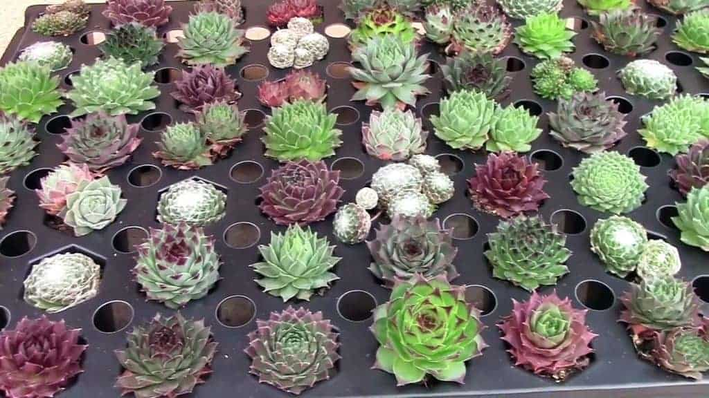 wholesale succulents