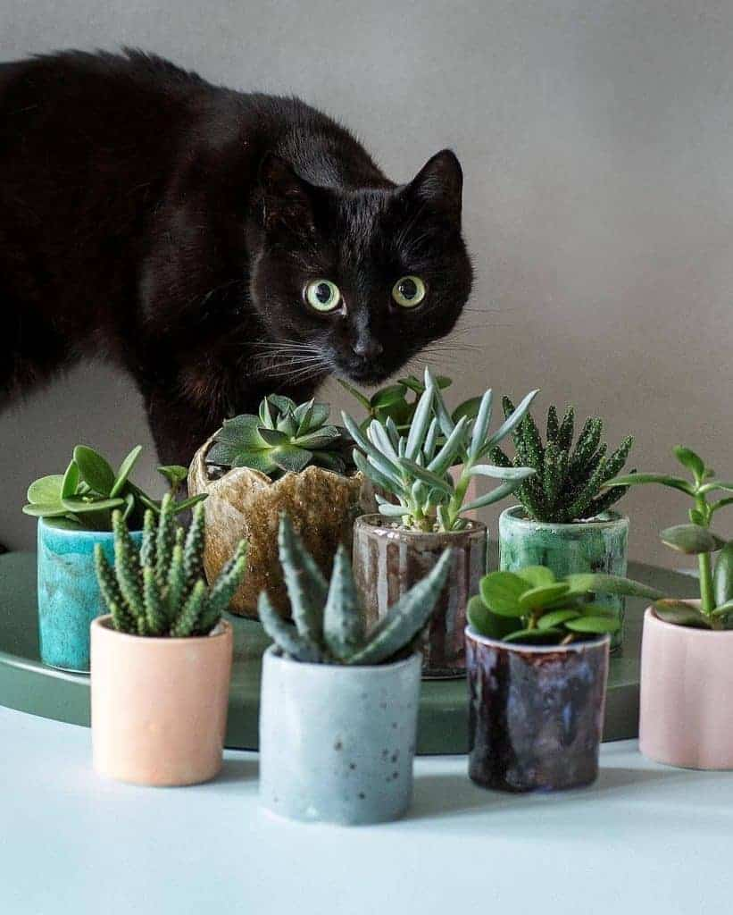 11 Succulents Safe for Cats