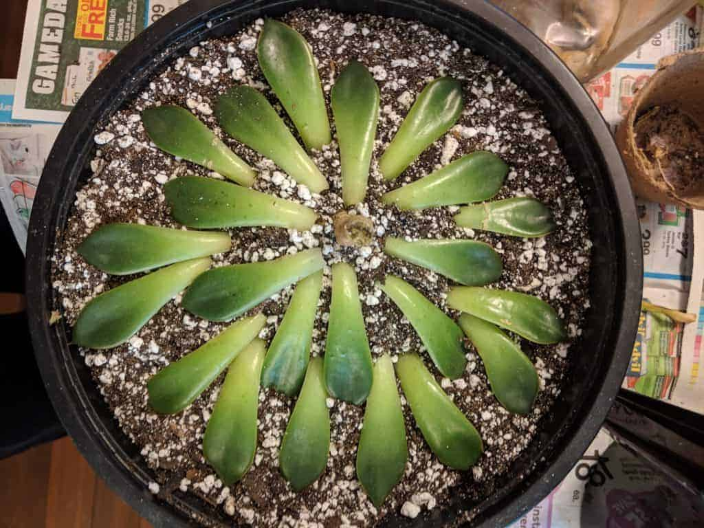 how to propagate succulents and cacti
