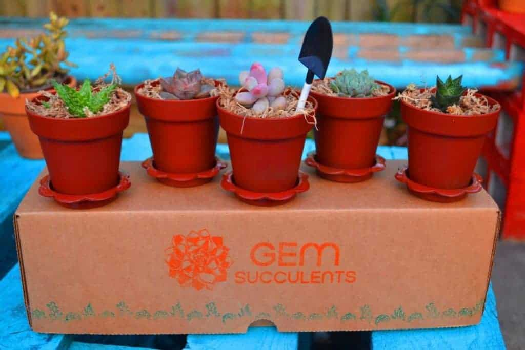 Gem Succulents
