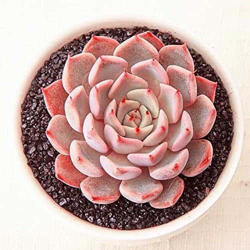 11 Pretty Pink Succulents – Sublime Succulents