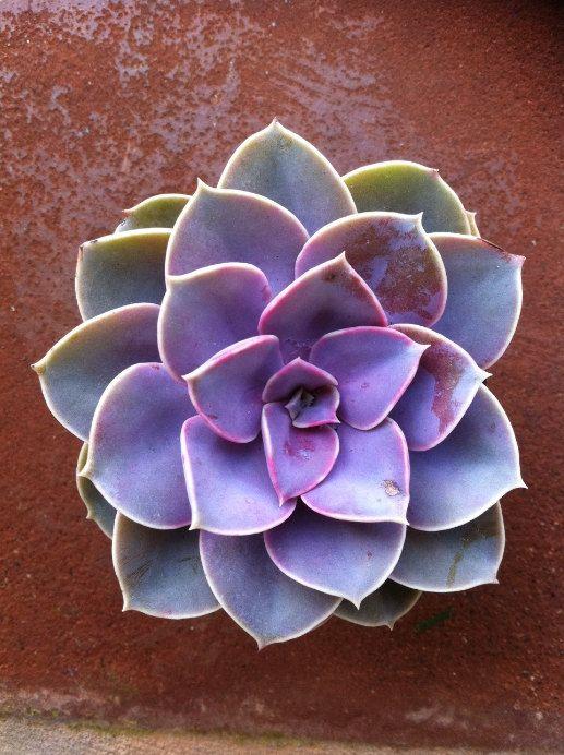 9 Vibrant Purple Succulents