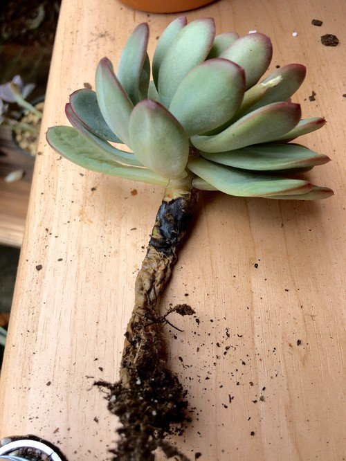 root rot succulents