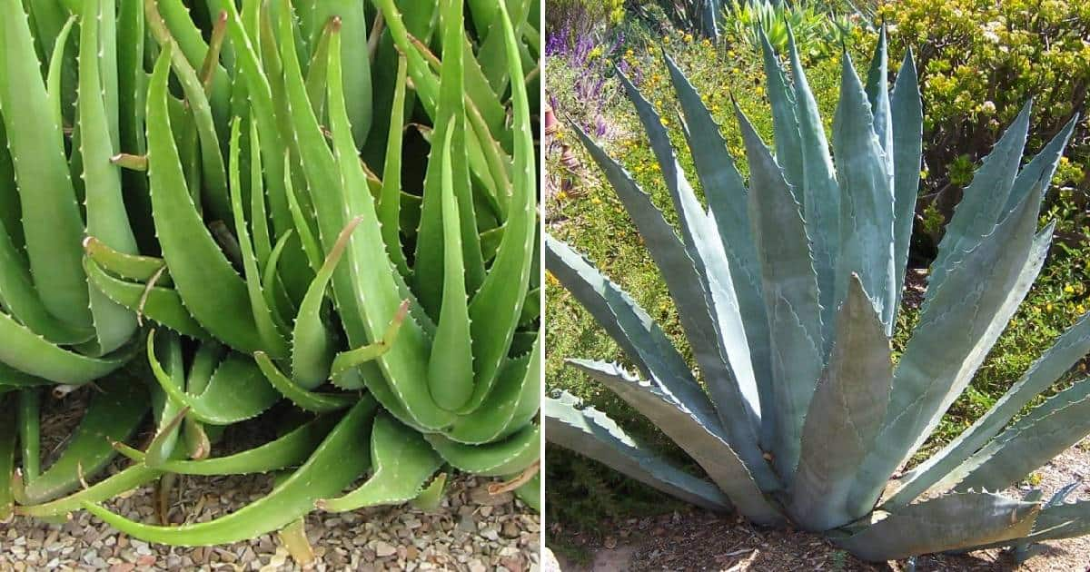 The Difference Between Aloe And Agave Sublime Succulents