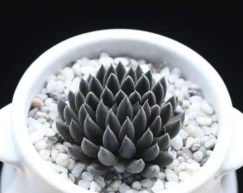 Plantas suculentas negras brillantes