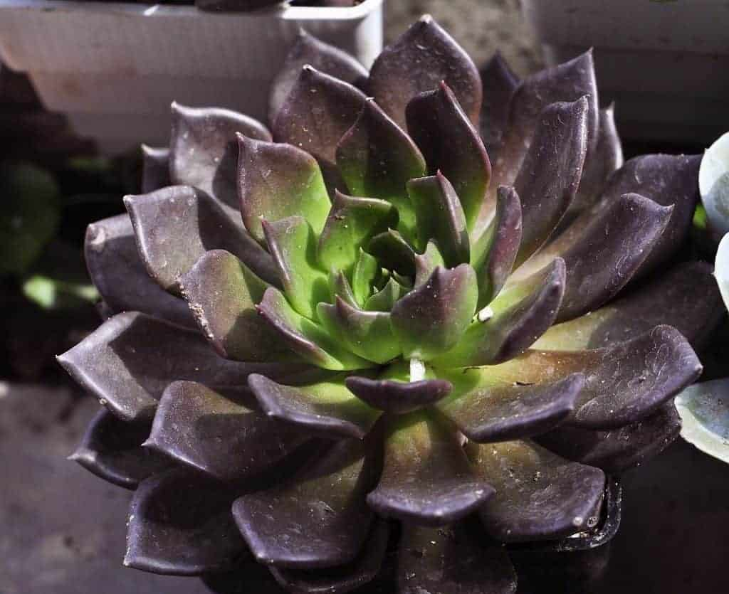 5 Brilliant Black Succulents Sublime Succulents