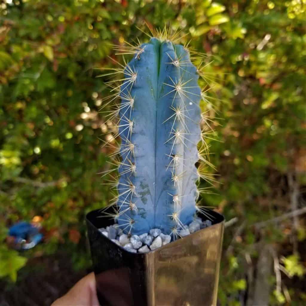 10 Beautiful Blue Succulents Sublime Succulents