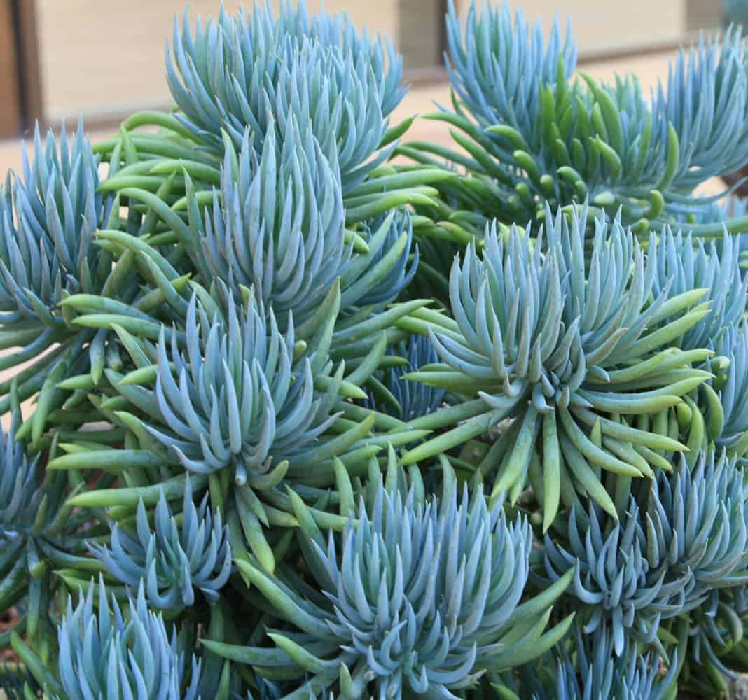 10 Beautiful Blue Succulents Sublime Succulents