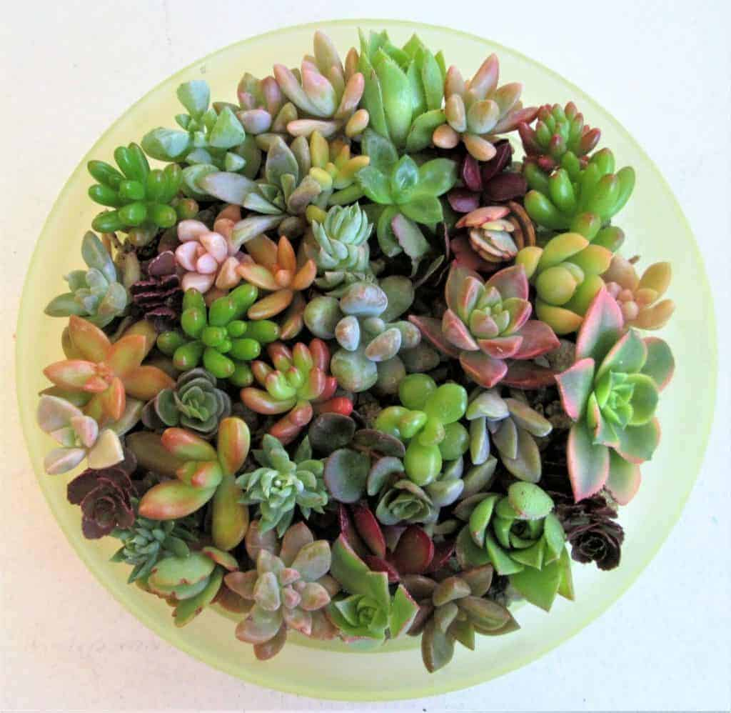 9 Best Miniature Succulents Sublime Succulents