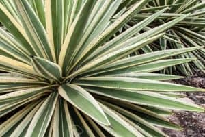 The Difference Between Agave and Yucca
