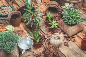 How to Separate Succulents