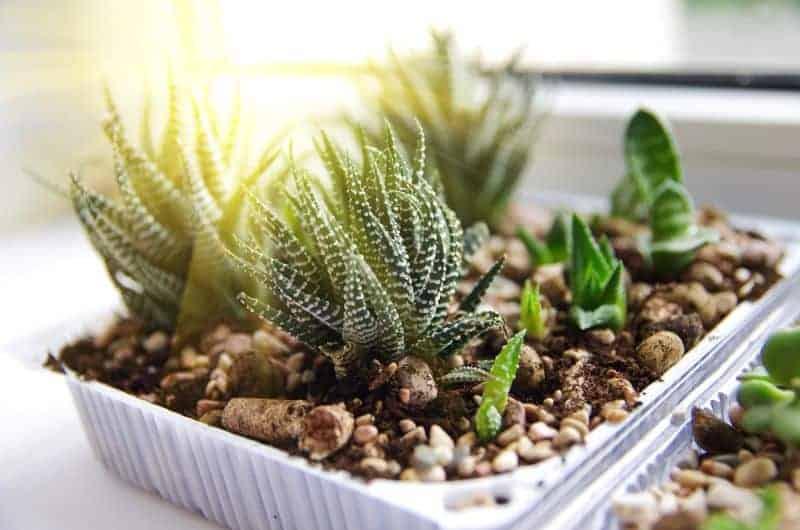 Simple Succulent Care