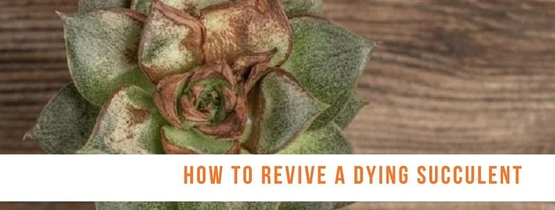 How to Revive a Dying Succulent