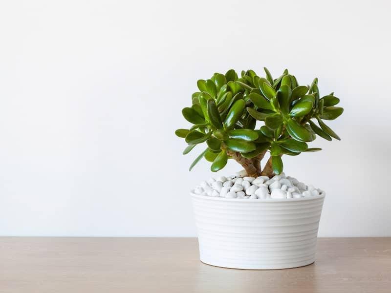Ripple Jade Succulent