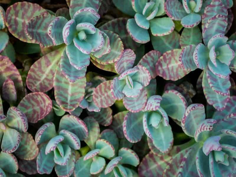 Kalanchoe Humilis Succulent