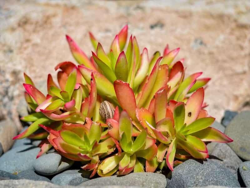 Crassula Capitella Campfire Succulent Care Guide