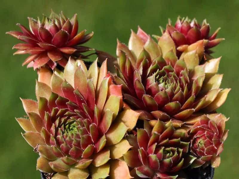 Sempervivum Heuffelii Succulent