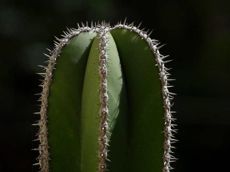 pachycereus