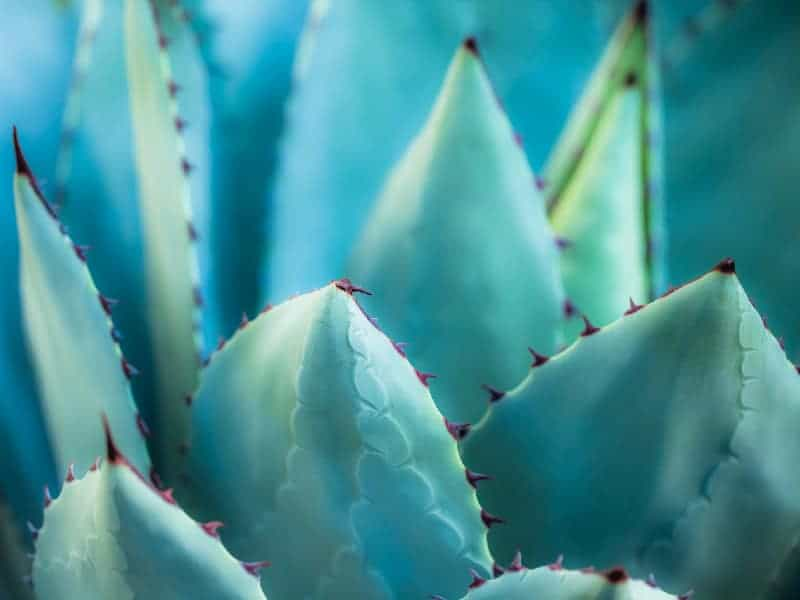 Dwarf Butterfly Agave