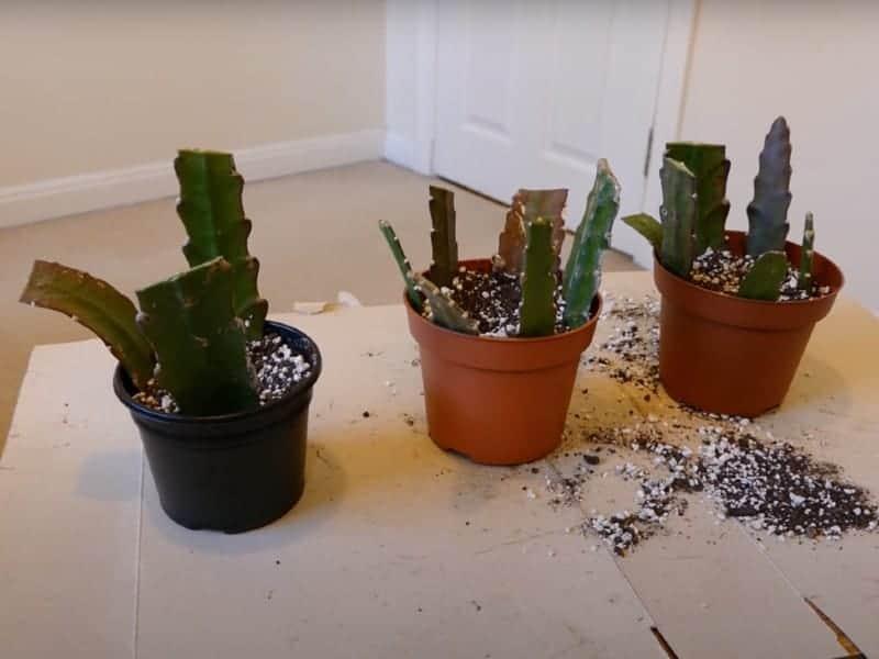 Hurricane Cactus