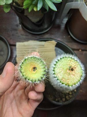 do cactus needles grow back