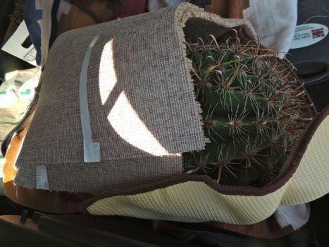 cactus needles regrow