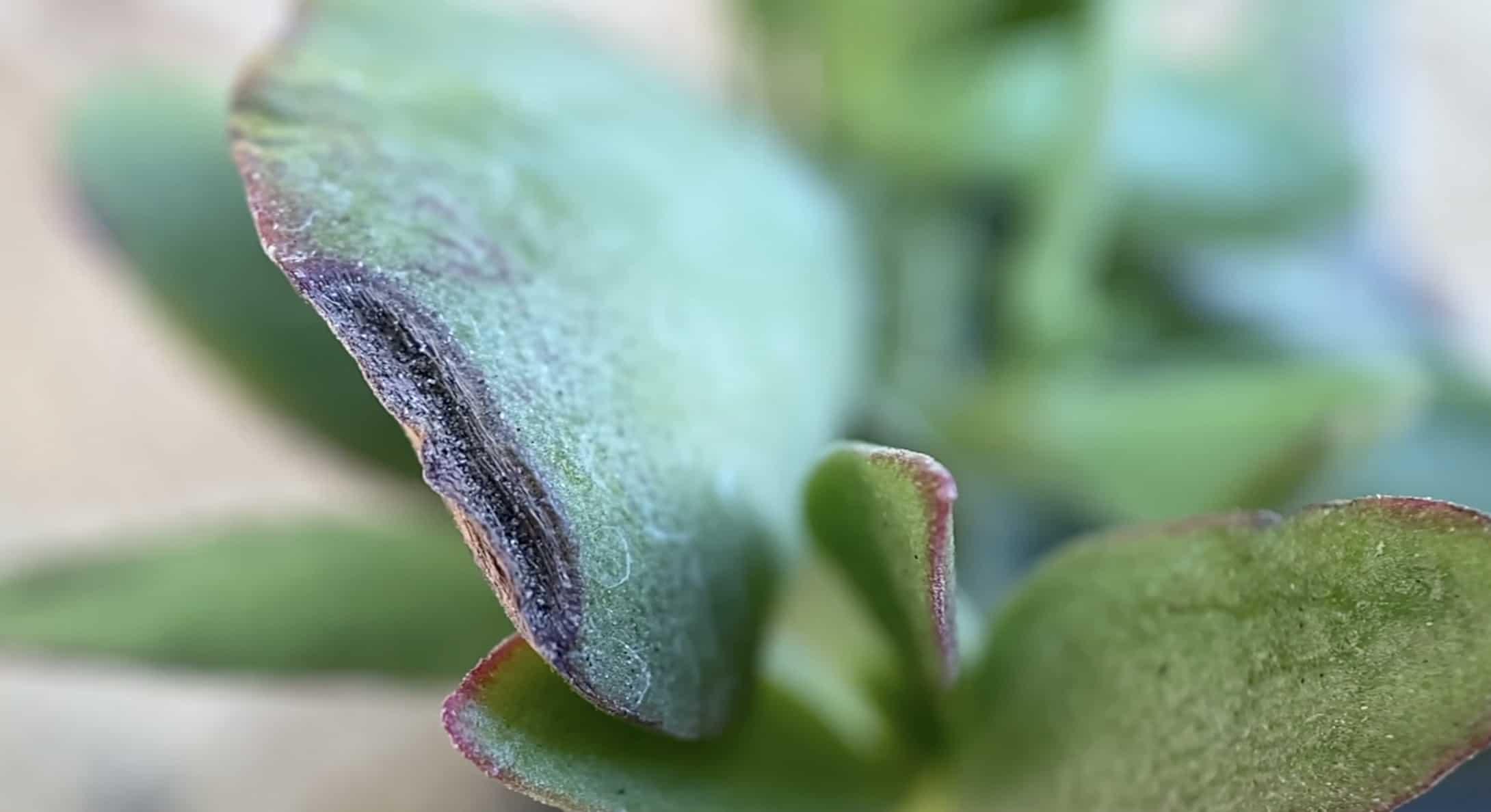 crassula pubescens ssp. radicans large red carpet stonecrop mountain crest gardens unboxing