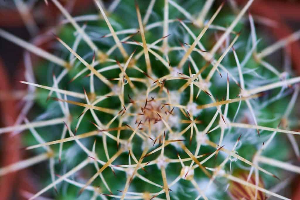 cactus needle