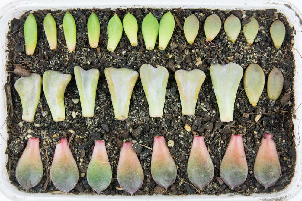 how often to water propagated succulents at home