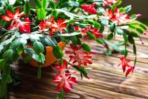 is christmas cactus a succulent