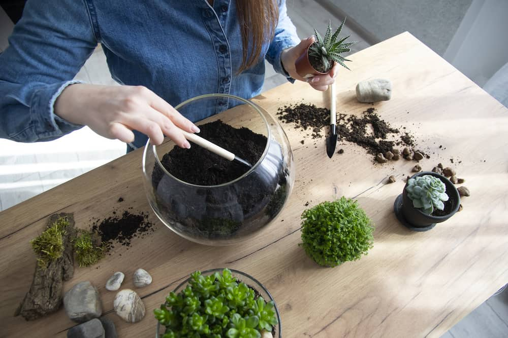 how to transplant propagated succulents