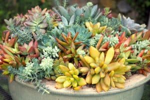 best yellow succulents and where to buy yellow succulents