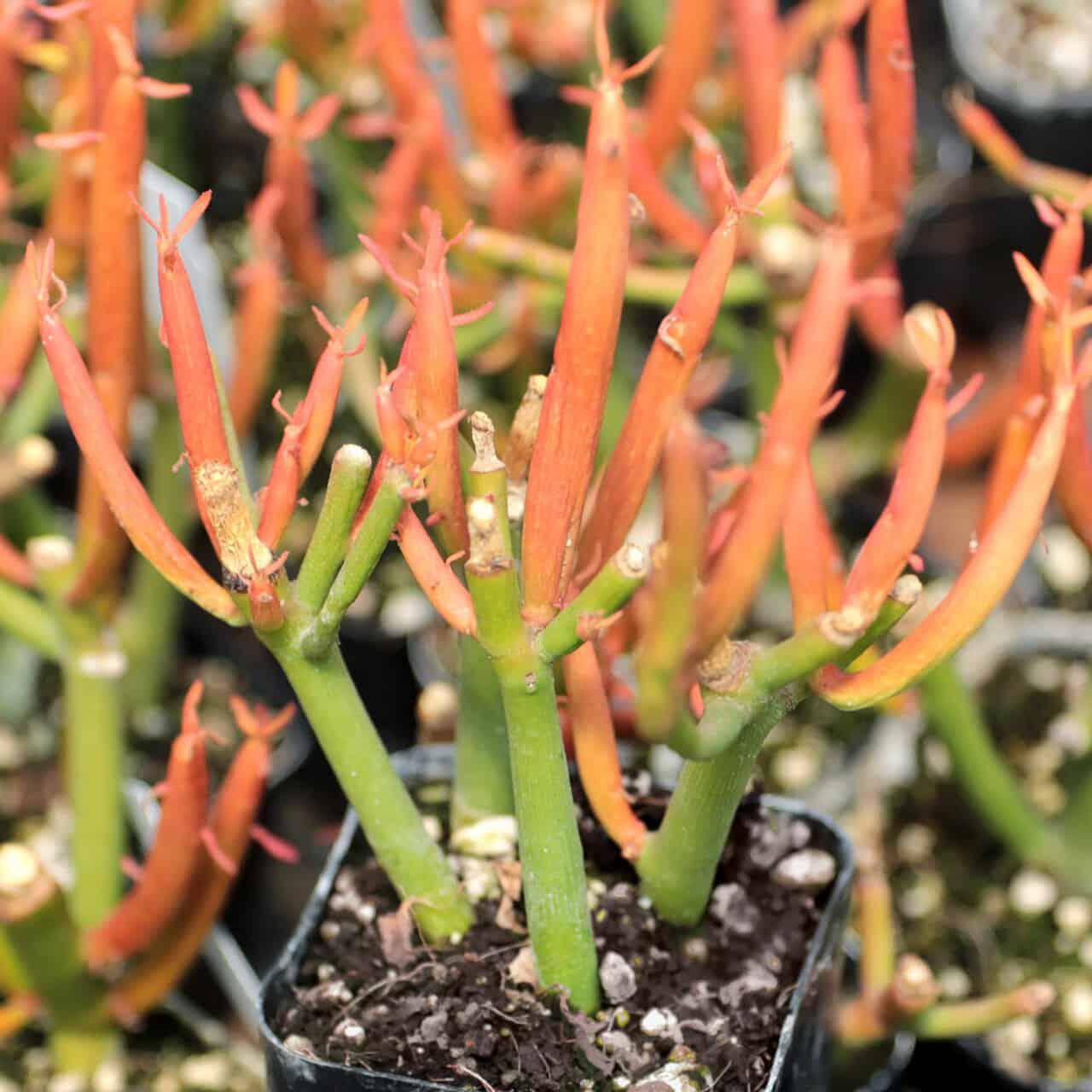 Euphorbia Tirucalli review